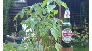 Bild von Kingfisher Premium (Lager Beer)